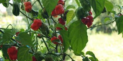 Тринидадские перцы
