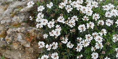 11 лучших весеннецветущих почвопокровных растений для солнечных участков