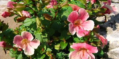 10 лучших летнецветущих почвопокровных растений для солнечных участков