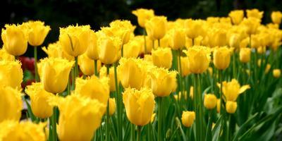 Лечебная цветотерапия на даче: третий мазок – желтый