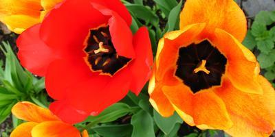 Тюльпаны в саду (18 фото)