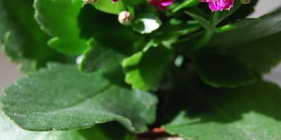 ♡ Цветок моей мечты: каланхоэ! ♡