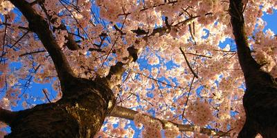 Начался фестиваль цветения вишни в столице США