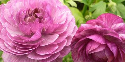 Ранункулюс(садовый лютик)