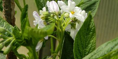 Мой первый опыт выращивания Пепино (Подмосковье)