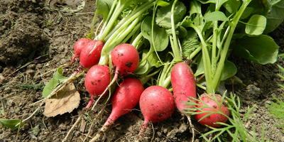 Новости с дачи: первое тепло, первый урожай