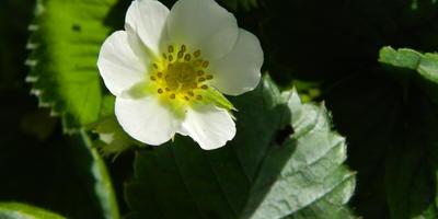 Клубника цветет и плодоносит в сентябре. Нужно ли удалить все цветы и ягоды?