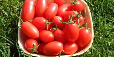Мой самый любимый помидор. Спрут Сливка!!!