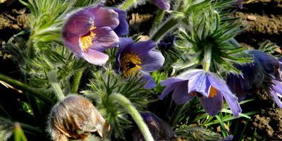Подснежный тюльпан - прострел обыкновенный