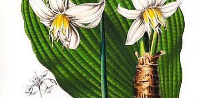 Эухарис – амазонская лилия