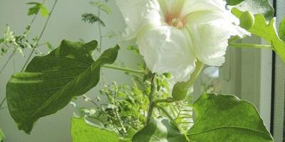 Ипомея – «утреннее сияние» в вашем доме
