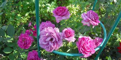 Мои любимые цветочки на даче