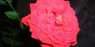 Роза-королева цветов!