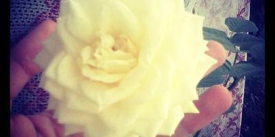 Роза, которая цветет даже зимой и не зависит от снегопада))))