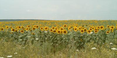 Если едешь на Кавказ - солнце светит в правый глаз (или летние капризы подсолнечника)