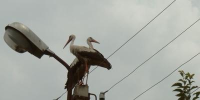 Аисты на даче