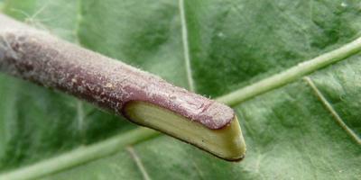Нужен ли садоводу прививочный секатор?