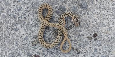 Подскажите, пожалуйста, что это за змея?