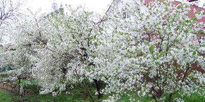 А у нас цветут вишни!