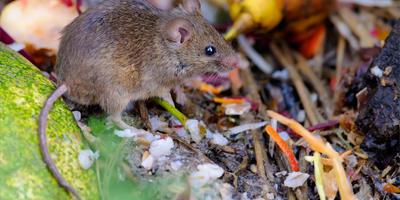 Как вы отпугиваете мышей от своего участка? Есть ли у вас такой опыт?
