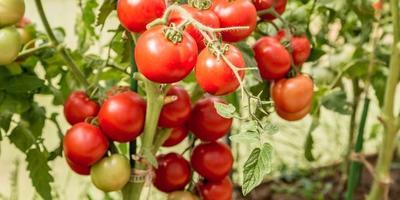 Знакомьтесь - фантастический томат ЛЮБАША F1!