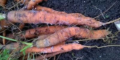 Почему у моркови все тонкие корешки покрыты белым налетом, будто известью или плесенью?