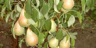 Висит груша - можно кушать