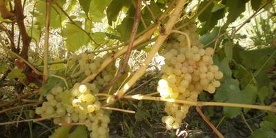 Помогите побороть болезнь винограда