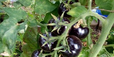Выращивание томатов, устойчивых к фитофторозу: опыт, сын ошибок трудных