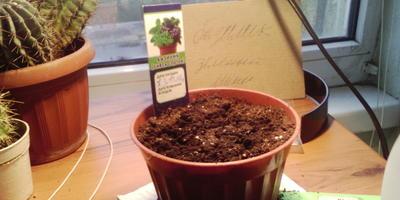 Как можно вырастить базилик на подоконнике?
