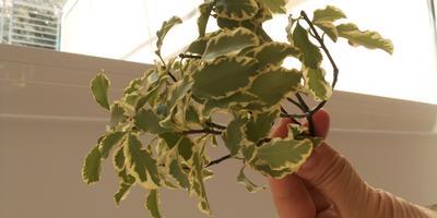 Подскажите, как называется кустарник и как его выращивать?