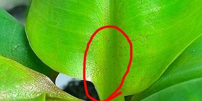 Помогите определить, что с бананом, растущим на подоконнике?