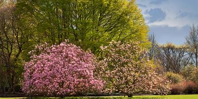 Магнолия — дерево целомудрия