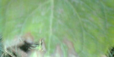 Кончики листьев малины становятся коричневыми и засыхают. В чем причина и как с этим бороться?