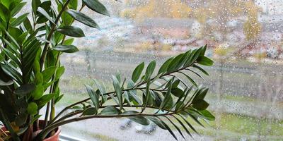 Замиокулькас - эффектный африканец. Выращивание и уход