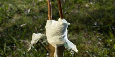 Что садоводу нужно знать о прививке