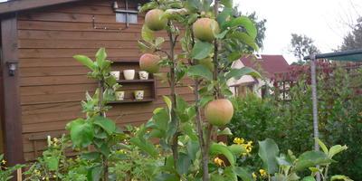 Прошлым летом у молодой яблони только на одной ветке засохли все листья. Засохшую ветку обрезали. Правильно ли сделали? В чем причина?