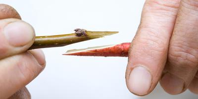 Простой способ прививки деревьев и кустарников - копулировка