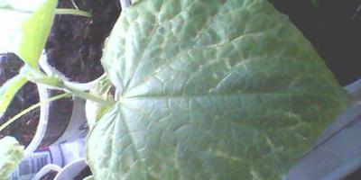 Высадила огурцы на рассаду, все листья стали засыхать. Что это может быть?