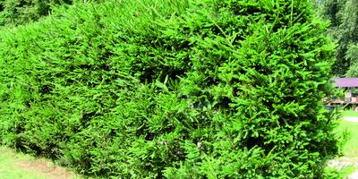 11 лучших хвойных растений для живых изгородей