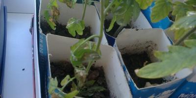 Помогите определить, что случилось с рассадой помидоров?