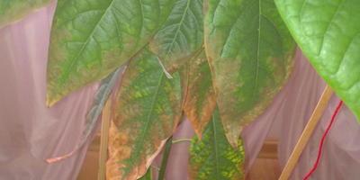 Помогите определить, что с авокадо, выращенным из косточки?
