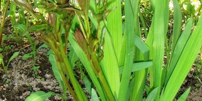 Что делать, если в центре травянистого пиона вырос сибирский ирис?