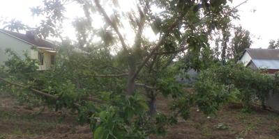 Яблони цвели обильно, но завязей нет. В чем причина?