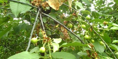 Помогите спасти вишни