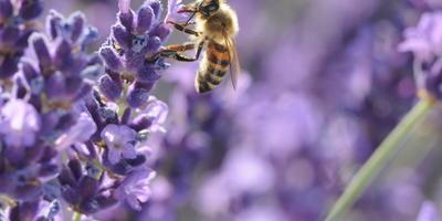 Пыльца: еще один дар пчел