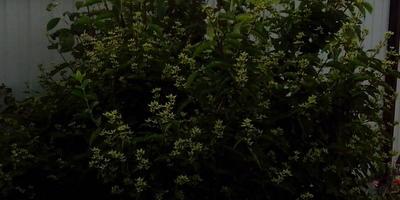 После цветения у жасмина появилось много побегов. Что делать?