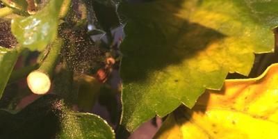 Гибискус желтеет, опадают листья и появилась паутинка. Как спасти цветок?