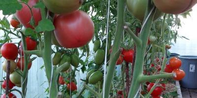 Серия помидоров Малиновое чудо