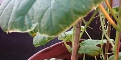Почему у огурцов скручиваются листья?
